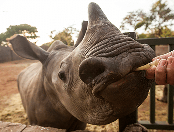 Baby rhino orphan at the rhino orphanage Limpopo