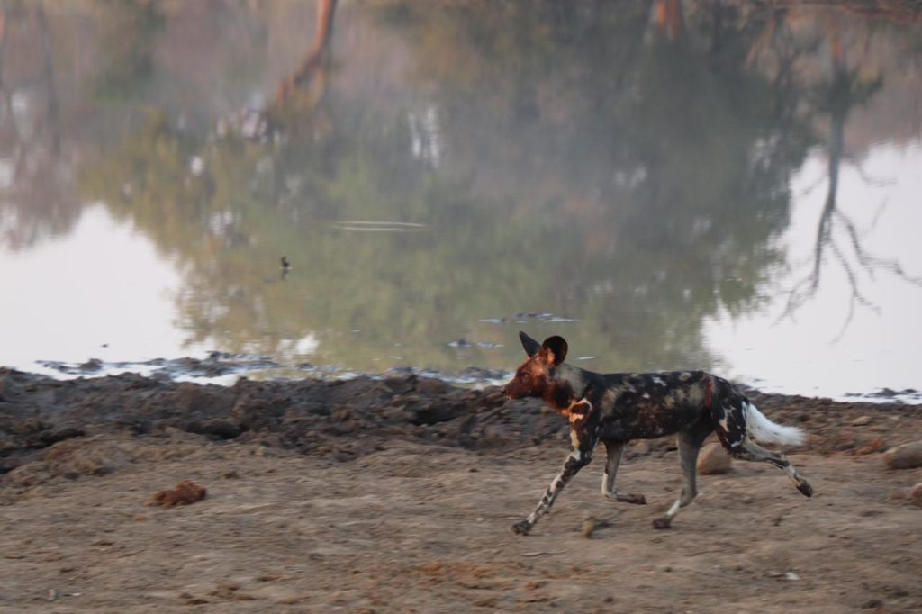 Wild Dogs with scares