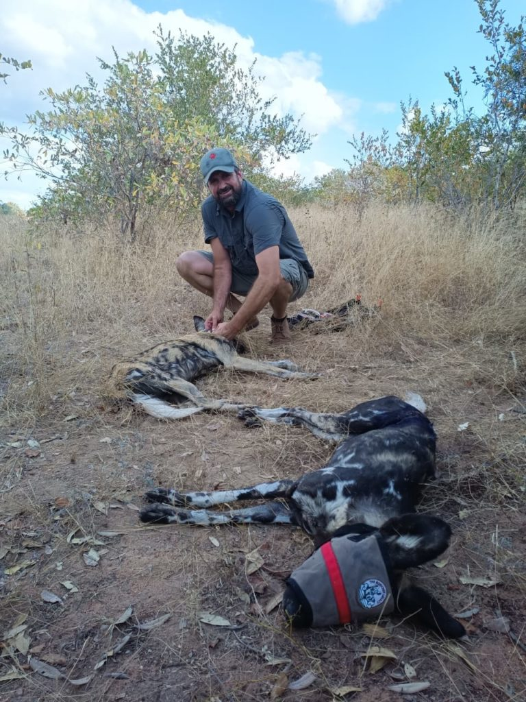 Wild Dogs Wounds Treated