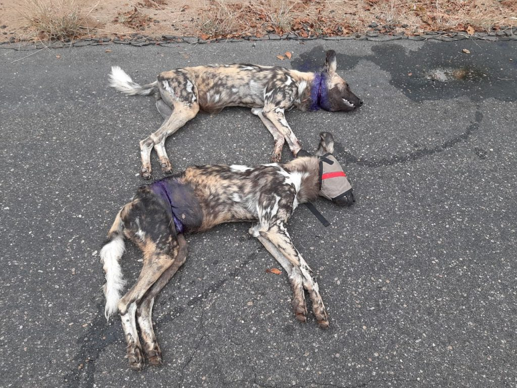 Wild Dogs Rescued From Snares