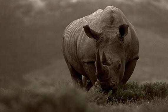 The Rhino Story