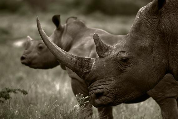 SM Rhino